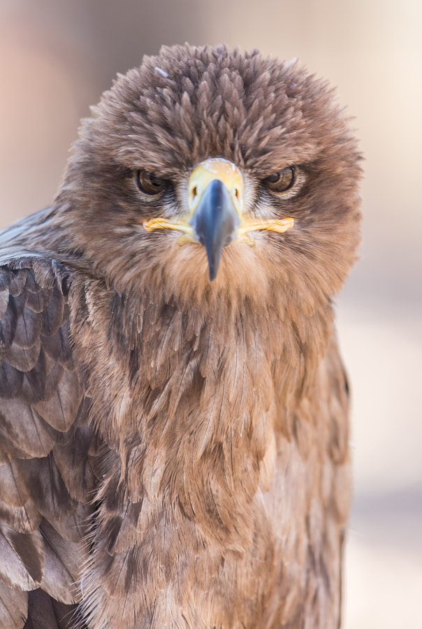 Photograph Grumpy Eagle by igaffner on 500px