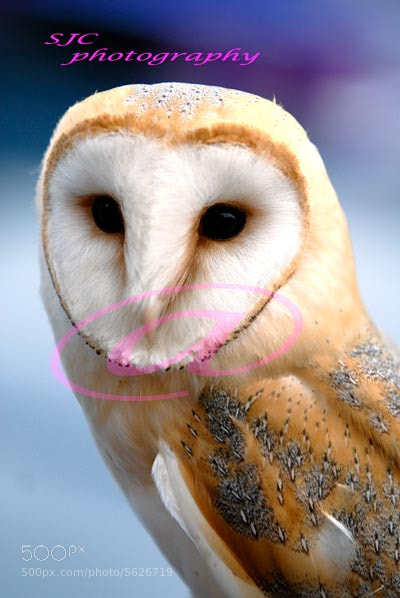 Photograph Barn owl by steve Chatterton on 500px