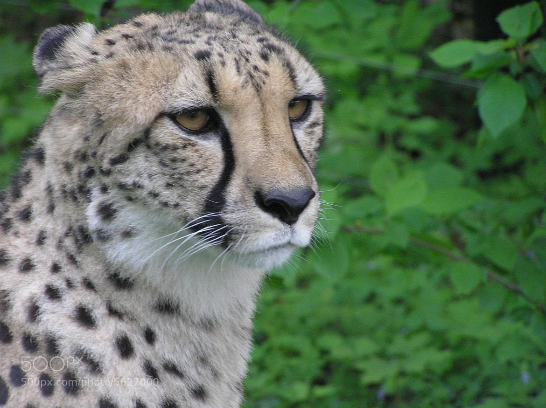 Photograph гепард в анфас by Иванна Таль on 500px