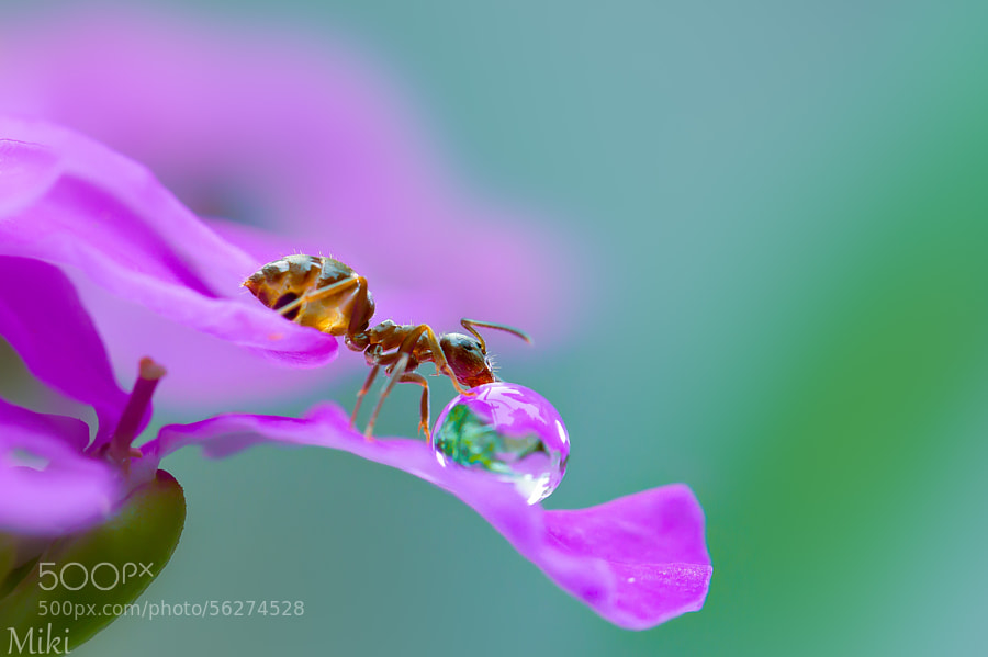 Photograph Lucky ant by Miki Asai on 500px