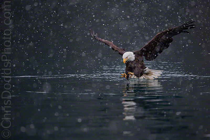 Photograph Bald Eagle DEADLIEST CATCH by Christopher Dodds on 500px