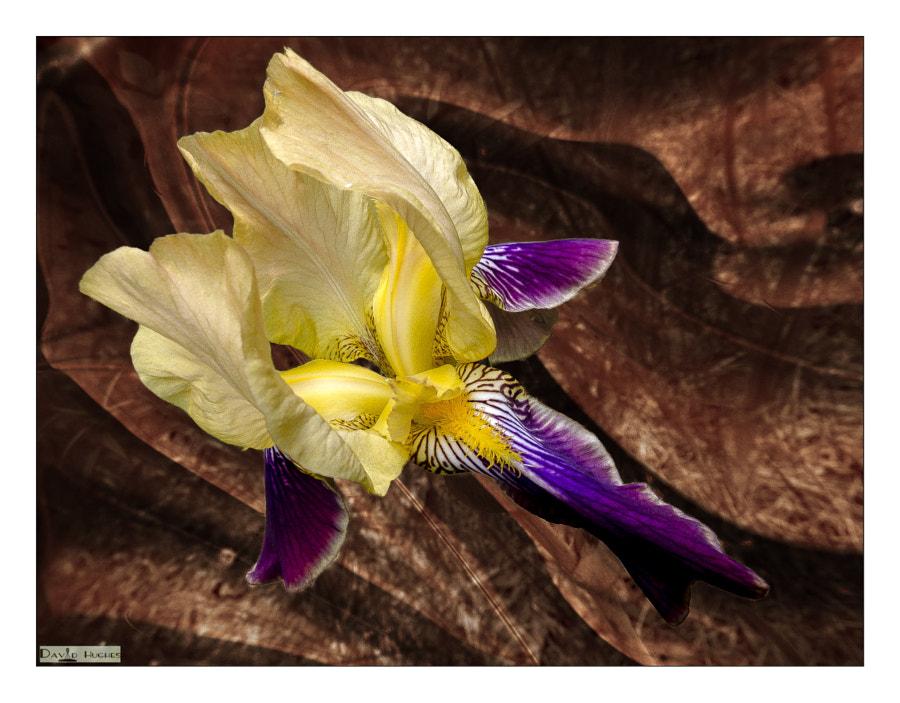 Spring Iris rev