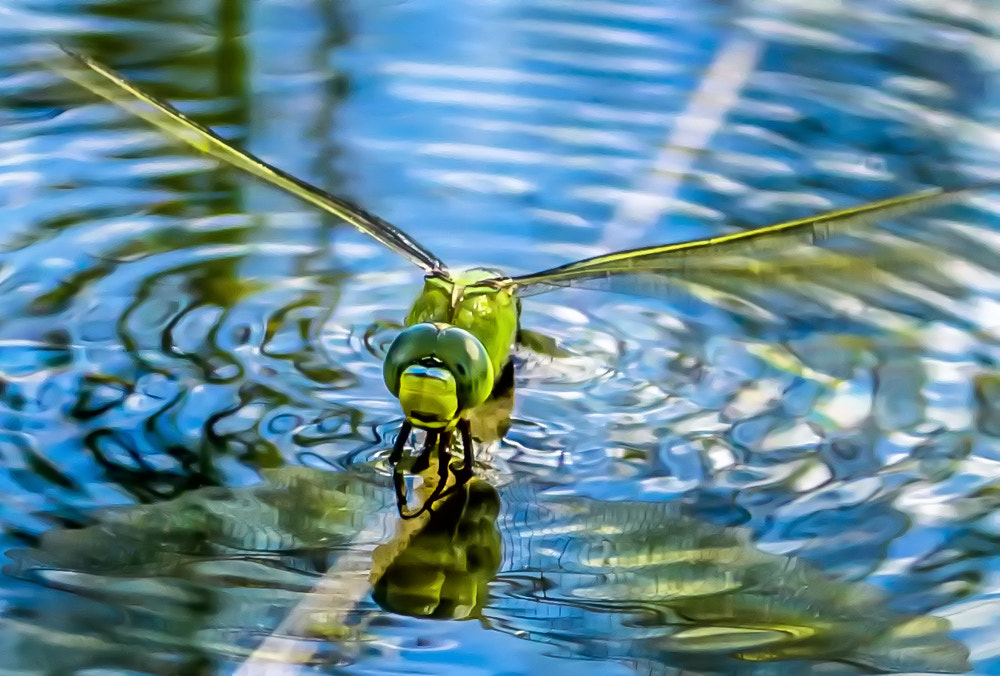 Photograph Anax imperator by Urs Bachmann on 500px