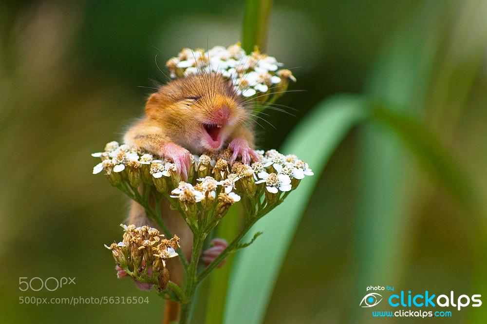Photograph A cute Dormouse by Clickalps .com on 500px