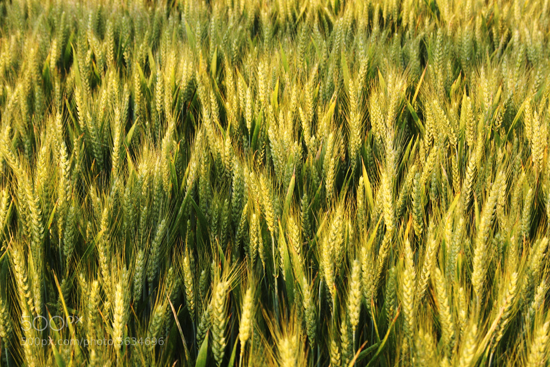 Photograph Wheat Fields by Wade Odlum on 500px
