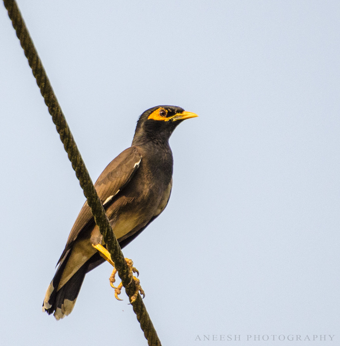 Photograph Myna by Aneesh BR on 500px