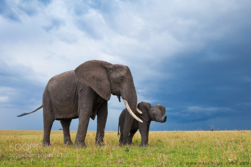 Mother and Calf by Mark Dumbleton (markdumbleton) on 500px.com