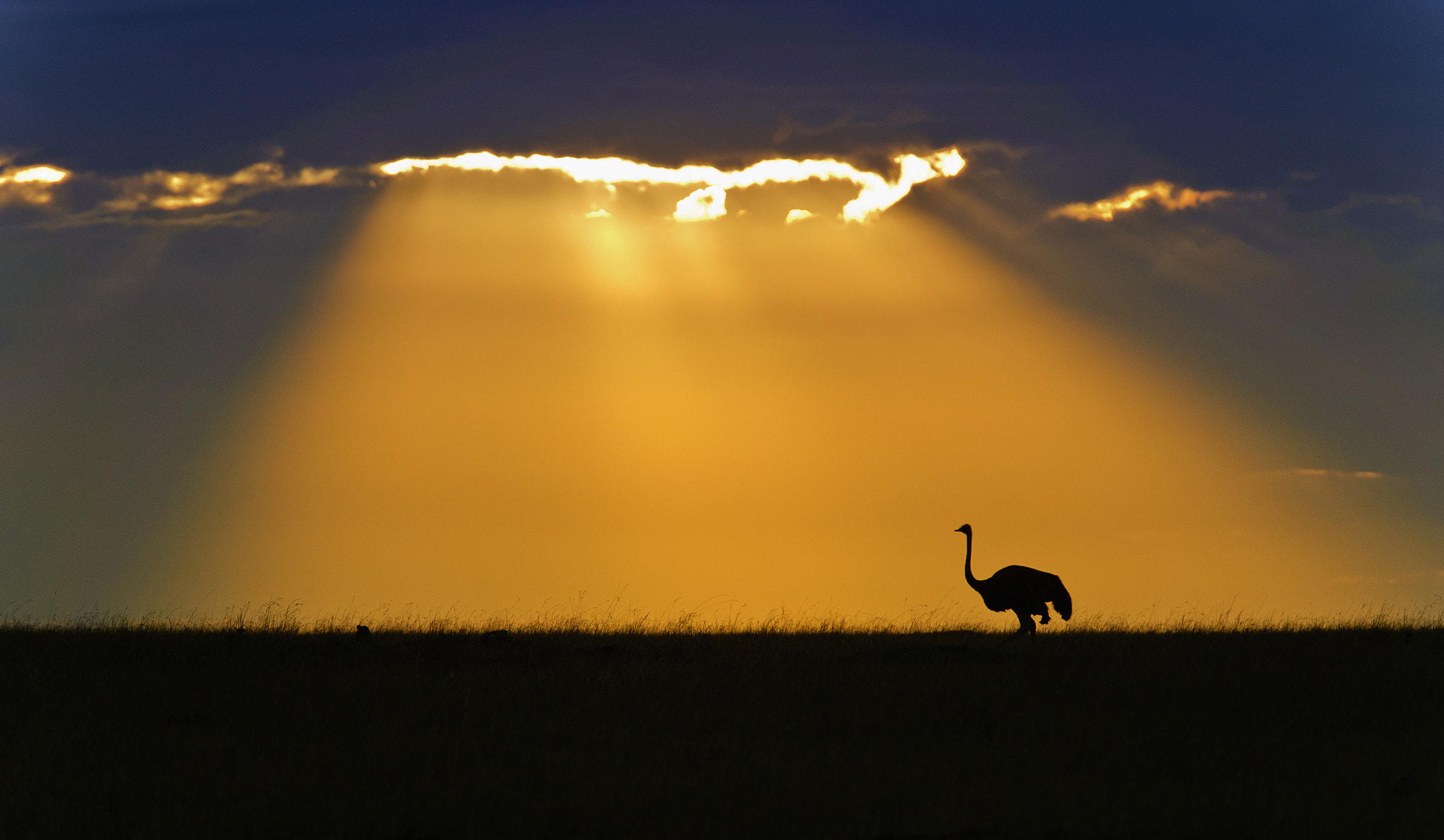 Photograph Ostrich sunrise by Marc MOL on 500px