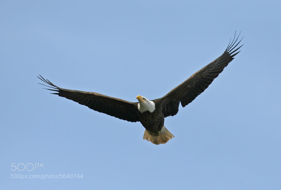 Mature, American Bald Eagle