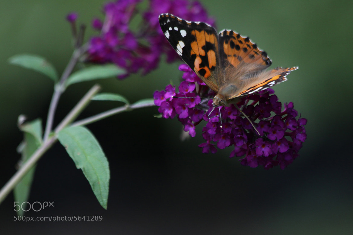 Photograph Painted Lady by Kenneth  Maurer on 500px