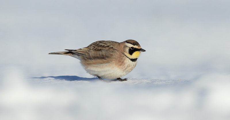 Photograph horned  lark by peter  makuch on 500px