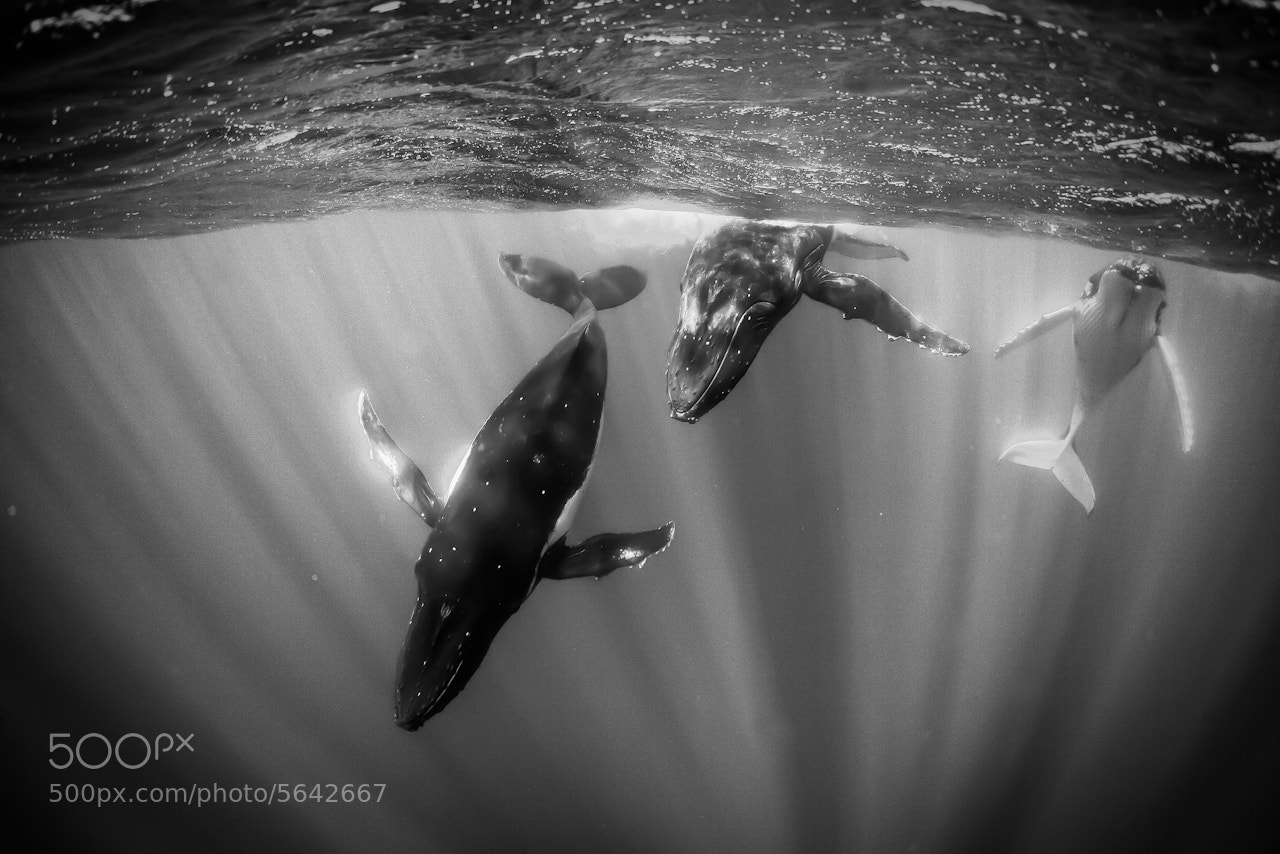 Photograph Humpbacks in Sunlit Water by Jody MacDonald on 500px
