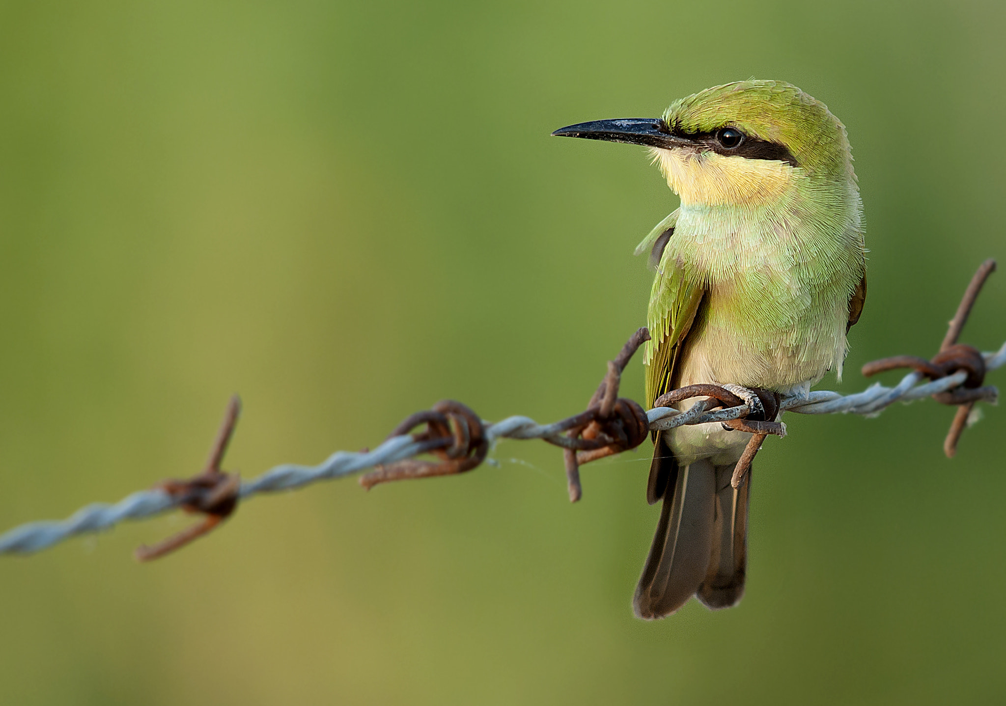 Photograph Little Bee Eater by Masood Hussain on 500px