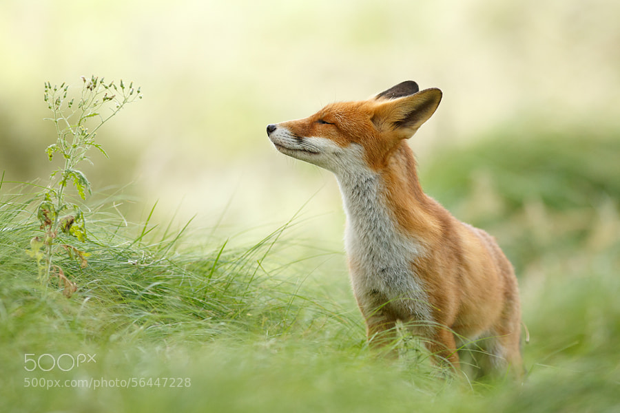Photograph Zen Fox : Wishing you a Wonderful 2014! by Roeselien Raimond on 500px