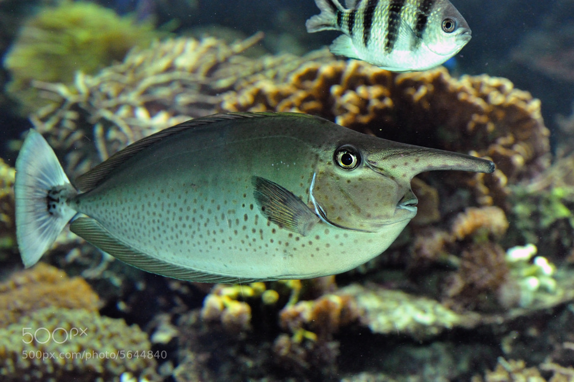 Photograph long nose fish by josef gelernter on 500px for Show me pictures of fish