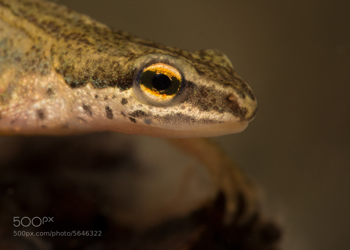 Photograph Palmate newt by Neil Phillips on 500px