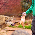 Постер, плакат: Hungry Like a Wolf