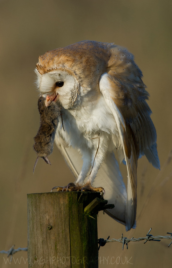 Photograph Barn Owl with Prey by Tony House on 500px