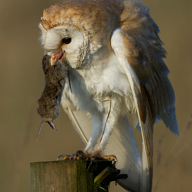 Barn Owl with Prey by Tony House (TonyHouse)) on 500px.com