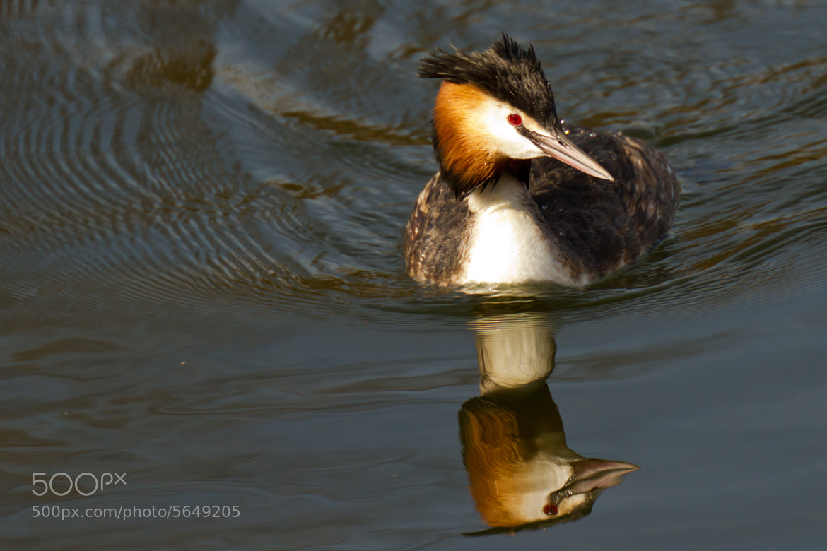 Photograph Great Crested Grebe by Marc Gengler on 500px