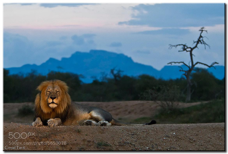 Photograph Lion Landscape by Conrad Tan on 500px