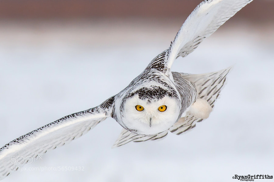 Photograph Snowy Owl by Ryan Griffiths on 500px