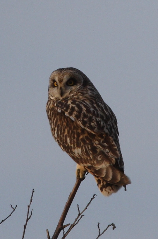 Photograph Posing Short-eared Owl by Andrew Steele on 500px