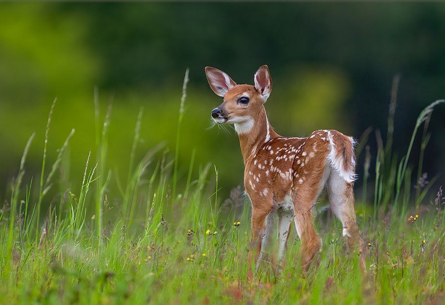 Spring Fawn by Nick Kalathas - Nature
