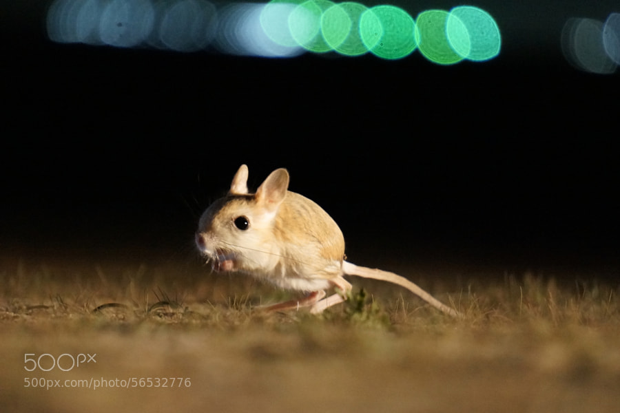 weird animals -Photograph Mr. Jerboa by Esa AlMethen on 500px