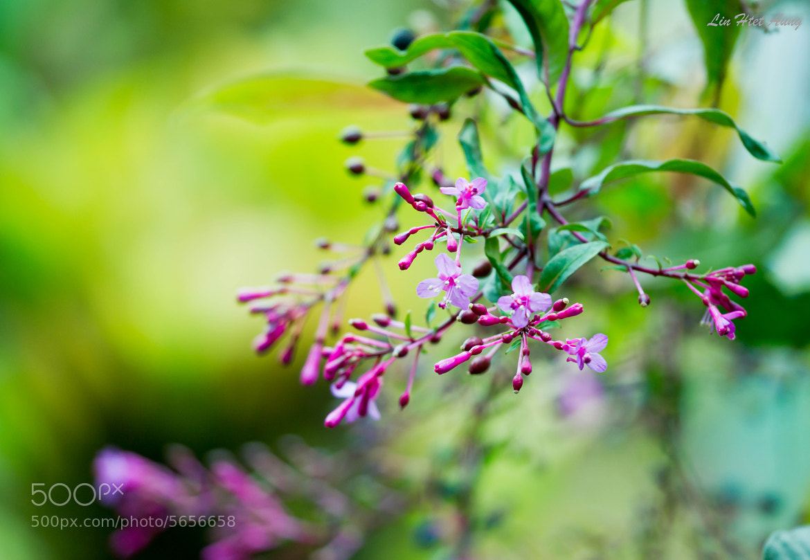 Photograph ::: Purple Flowers ::: by Lin Htet Aung on 500px