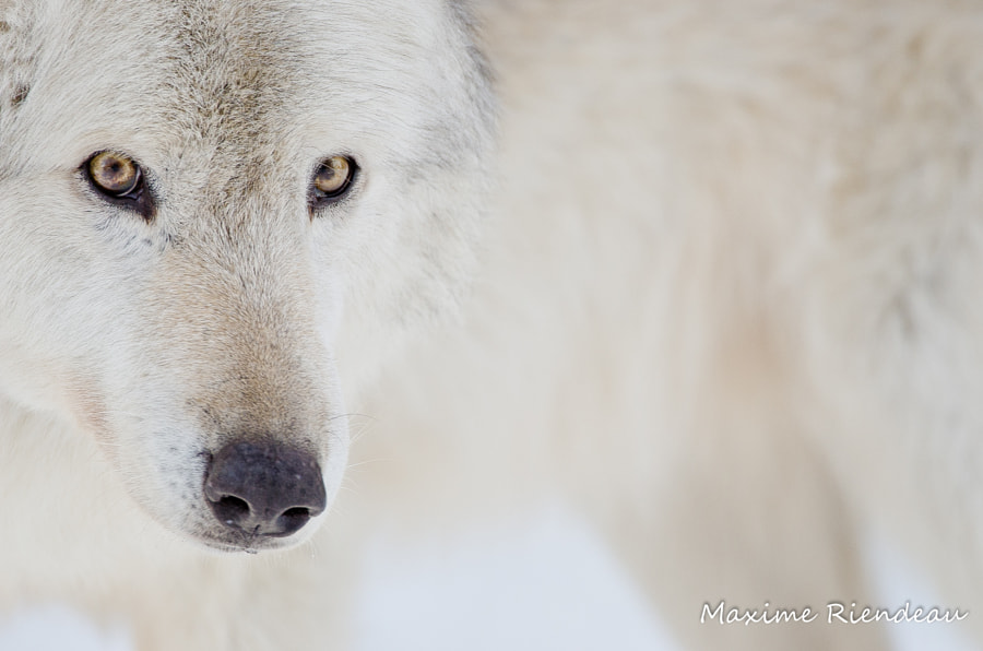 Wolf eyes by Maxime Riendeau on 500px.com