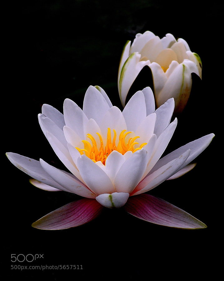 Photograph White Water Lily by Sudeshna Das on 500px