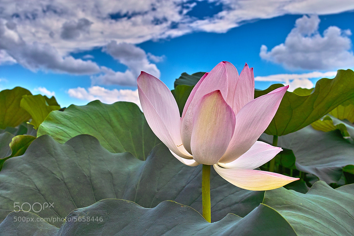 Photograph lotus by Cyclops Woo on 500px