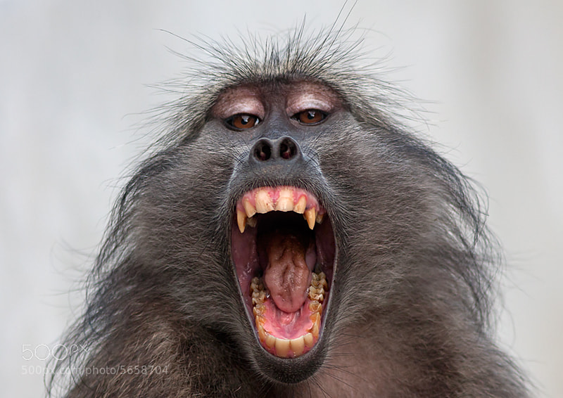 Photograph Chacma  baboon by Gregg Darling on 500px