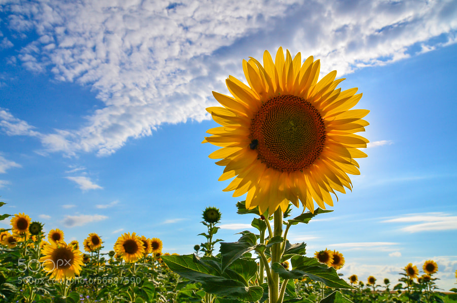 SunFlower by Thibaut ANDRE on 500px.com