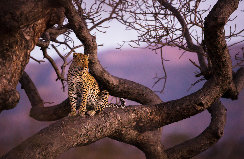 Photograph Leopard in sunset by Allan Høgholm on 500px