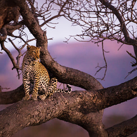 Leopard in sunset by Allan Høgholm (AllanHoegholm) on 500px.com
