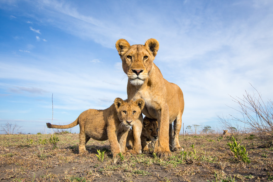 "Lions photographed with the new <a href=""http://www.camtraptions.com/beetlecam/"">BeetleCam</a>"