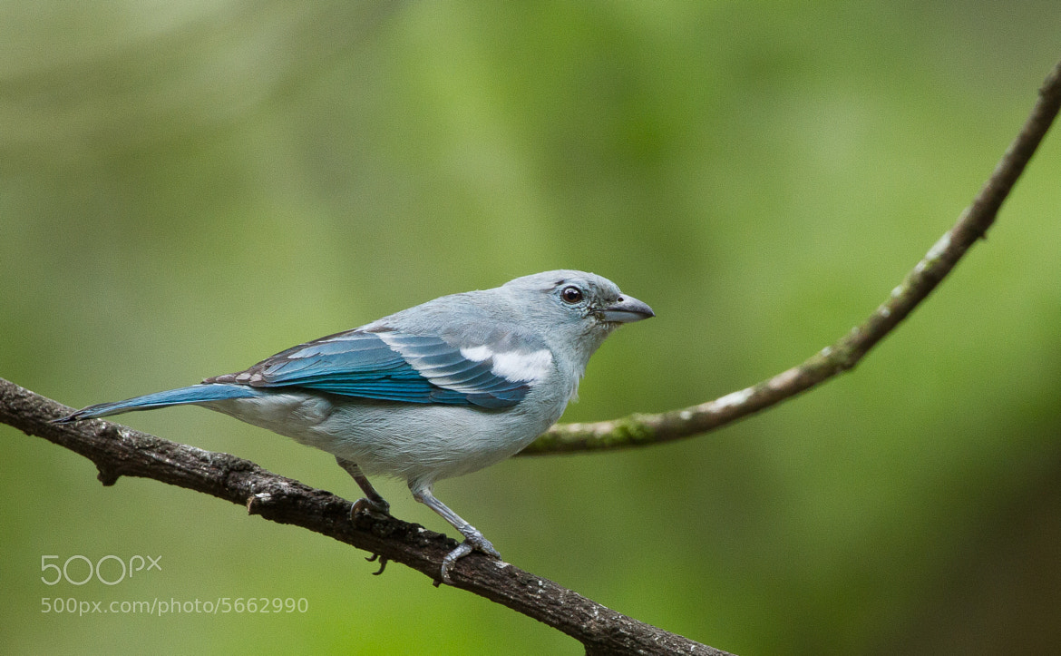 Photograph Blue-grey Tanager by Ian Billenness on 500px