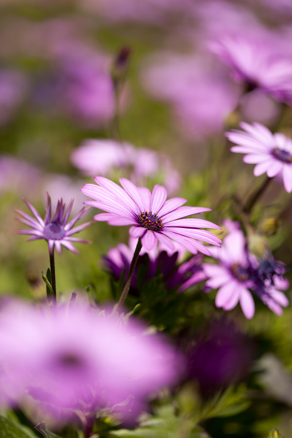Purple daisy by 135pixels Eduardo Gonzalez on 500px.com