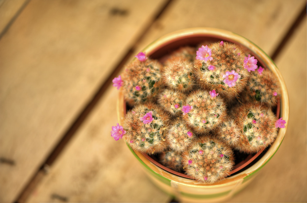 Photograph the little cactus in flower by Thomas Skibbe on 500px