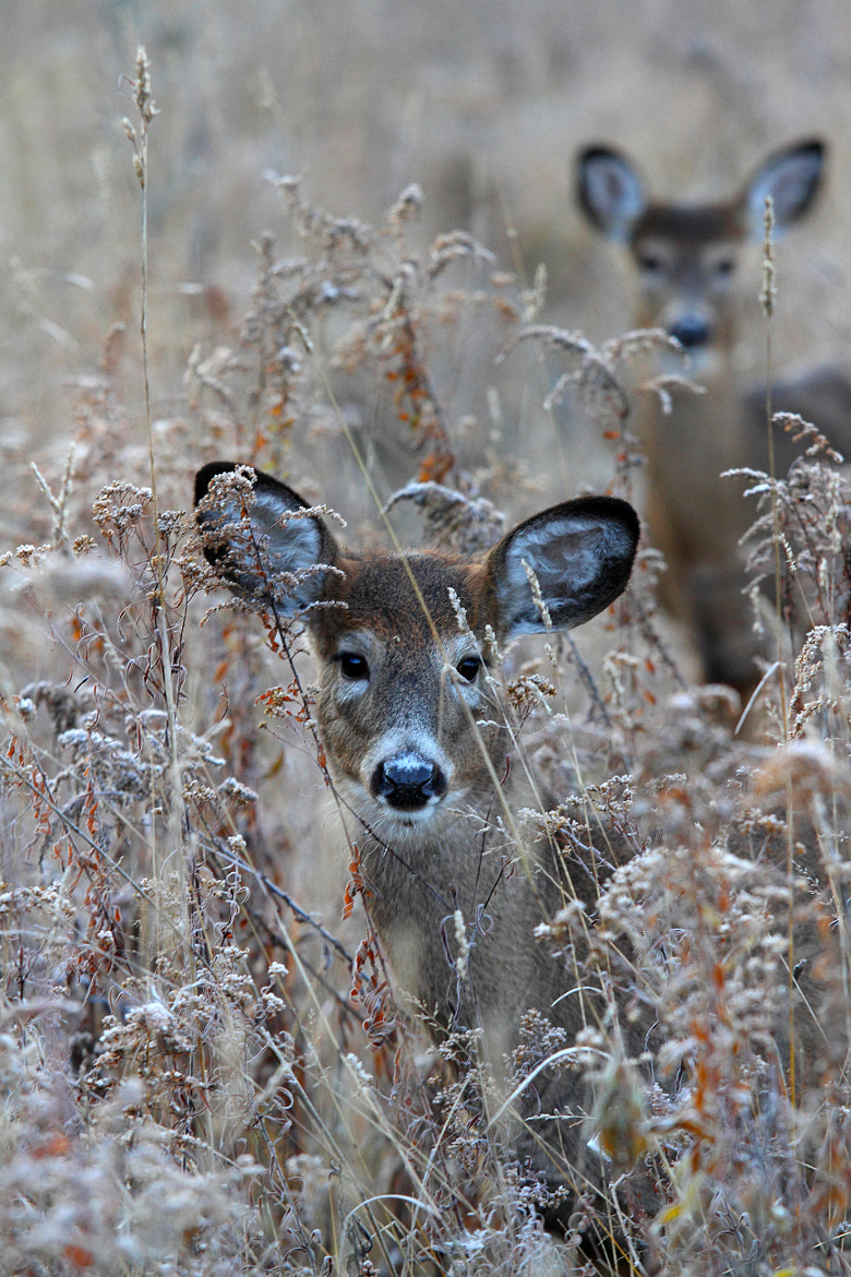 Photograph Doe in the grass - White-tailed deer by Jim Cumming on 500px