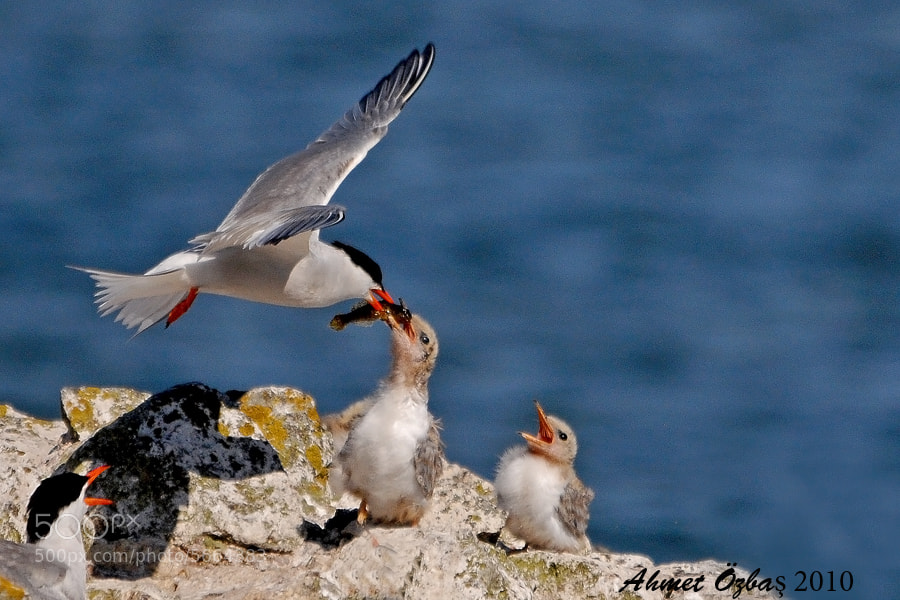 Photograph Common tern  by Ahmet Özbaş on 500px