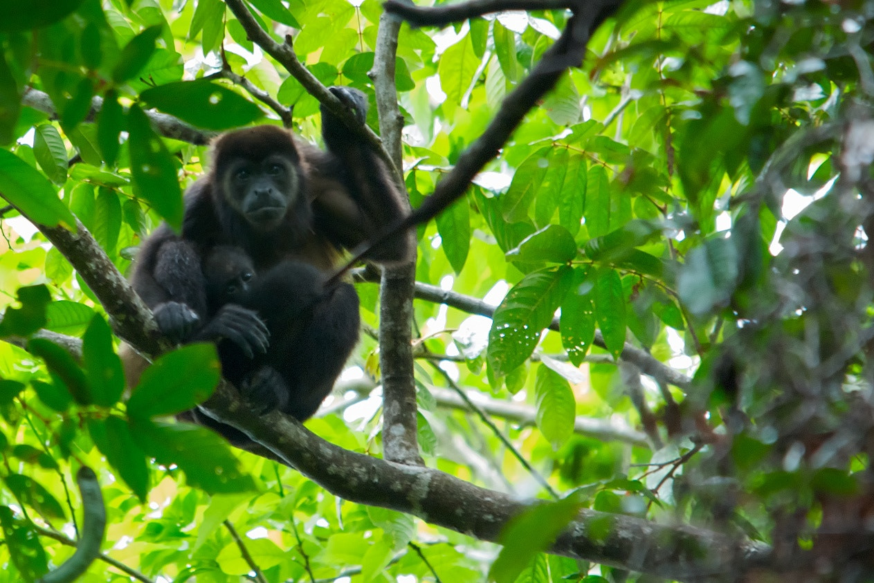 Photograph Howler Monkey by Matthew Tiegs on 500px