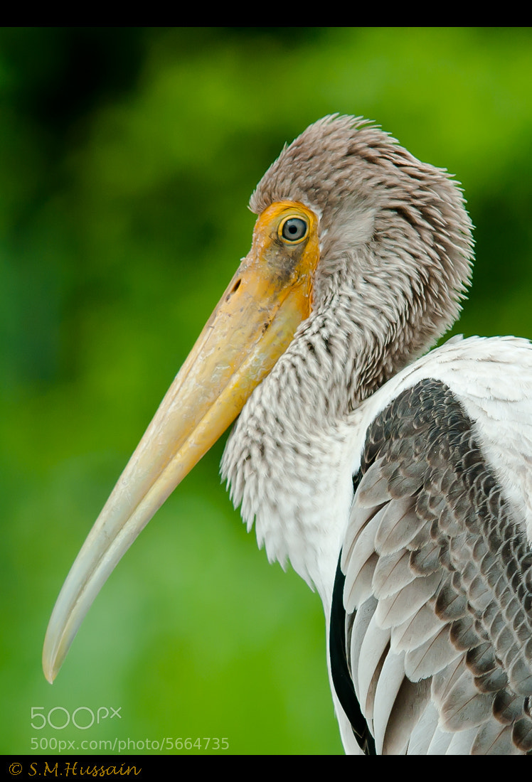 Photograph Portrait of a painted stork by Masood Hussain on 500px