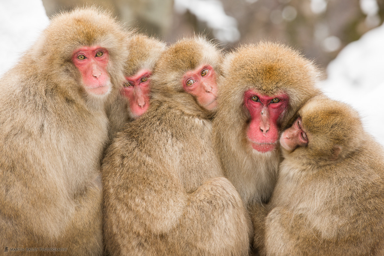 Photograph Five Monkeys by Martin Bailey on 500px
