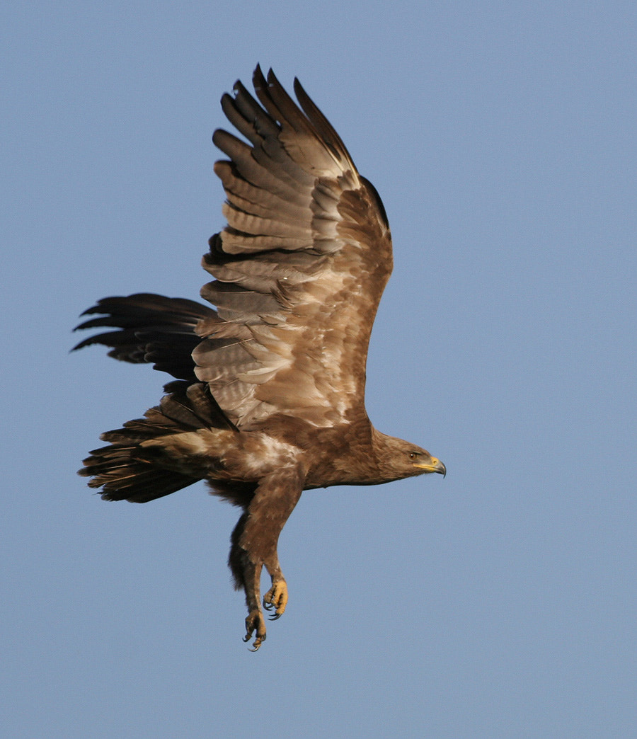 Photograph Lesser spotted eagle  by menderes atay on 500px