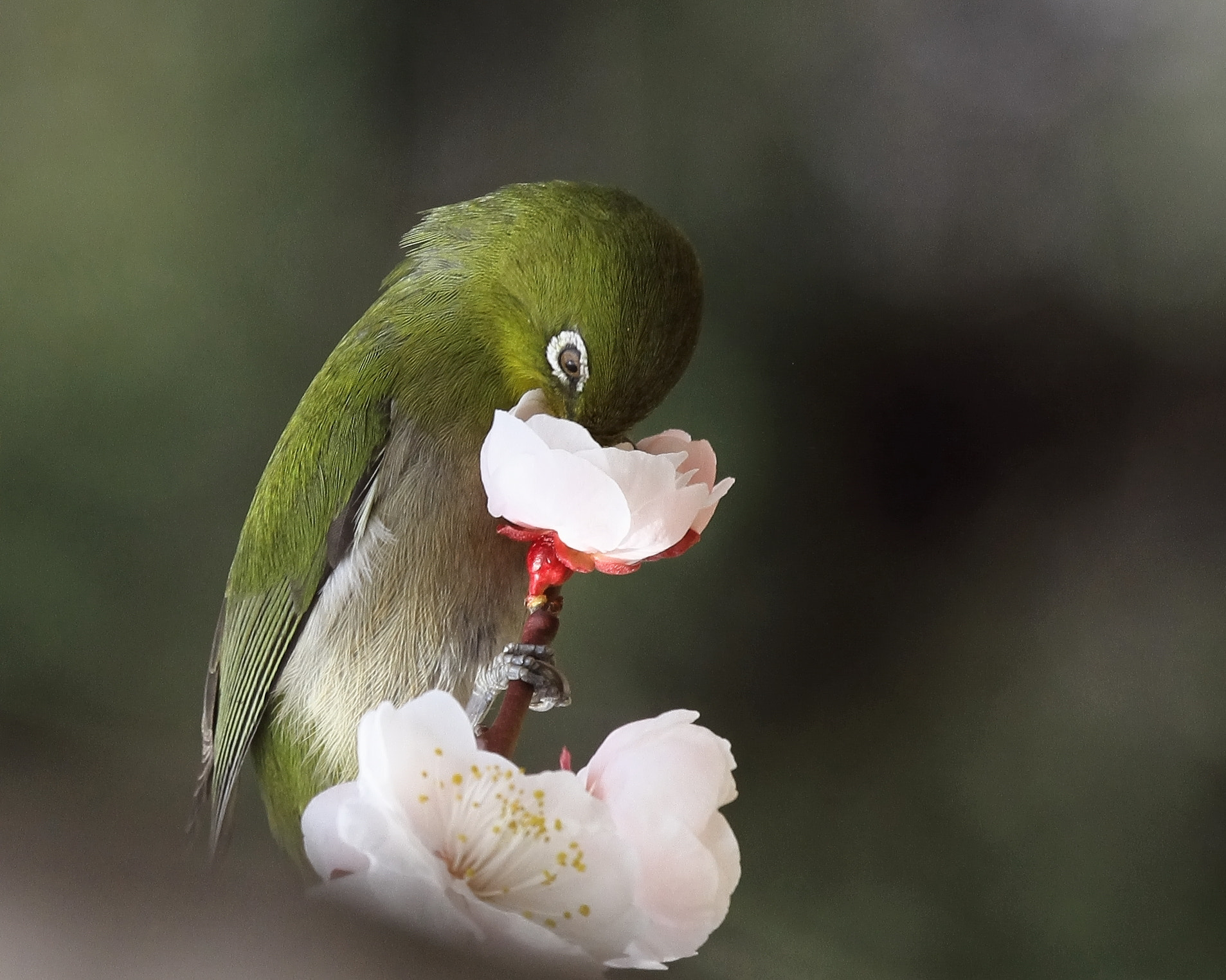 Photograph Japanese white-eye by eiji suzuki on 500px