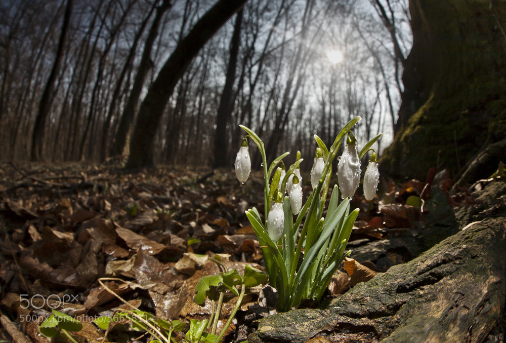 Photograph Snowdrop by Ákos Erdélyi on 500px