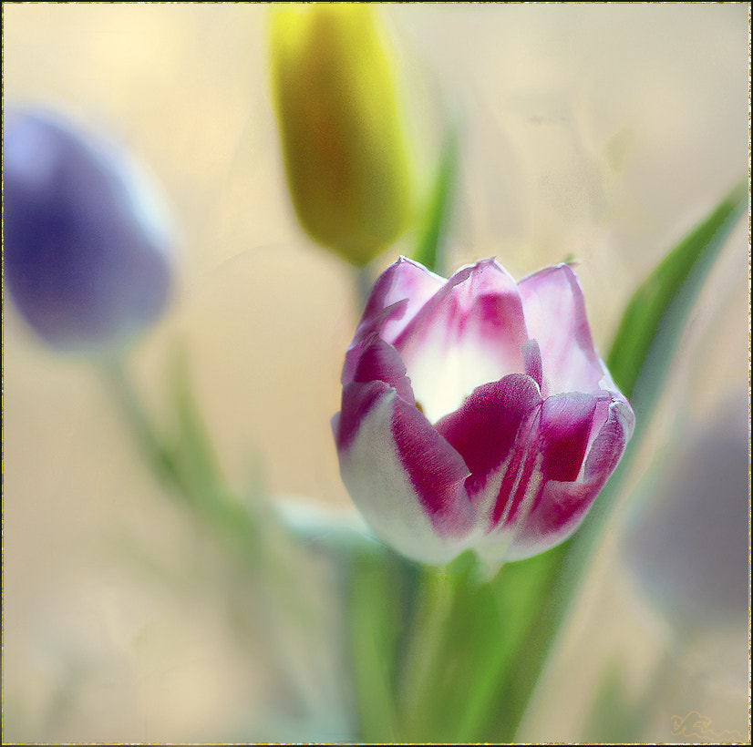 Photograph Tulips by Alla  Lora on 500px